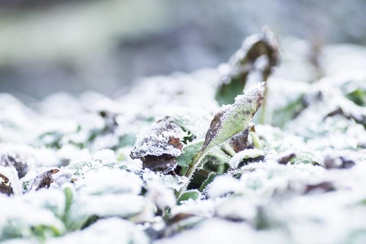 bevroren plantjes