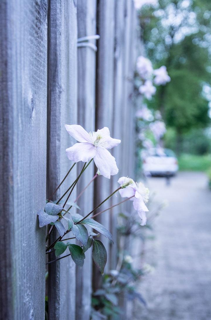 bloemen uit schutting